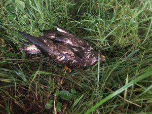 Kleintierrettung – Verletzter Greifvogel